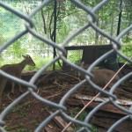 deer-in-patikka-zoo-muzaffabad-near-kohala-bridge-point