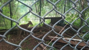deer-in-patikka-zoo-muzaffabad-near-kohala-bridge-point